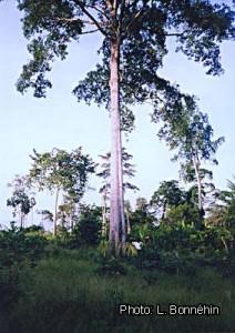 Tieghemella heckelii Fig-4-1