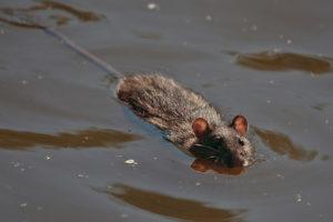 bruine-rat